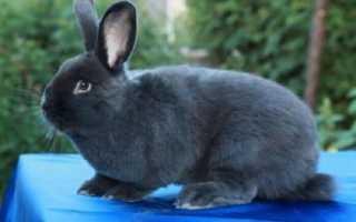 Венский голубой кролик: описание и характеристика породы, размеры клеток для содержания, особенности размножения, фото