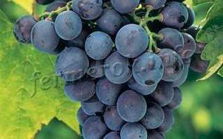Виноград Кубань: описание сорта, фото, отзывы