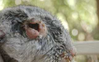 Геморрагическая болезнь кроликов: симптомы, причины возникновения, лечение и профилактика, можно ли есть мясо больного кролика, фото, отзывы