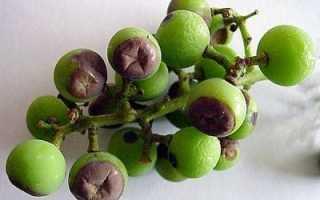 Серая гниль на винограде: чем и когда обработать, фото