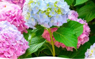 Морозоустойчивые сорта гортензий: какой цветок самый зимостойкий, до 40 градусов, описание сорта и фото