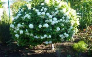 Калина Бульденеж: посадка и уход в открытом грунте, фото и описание кустарника, когда и сколько цветёт, лечебные