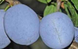 Слива Гигант: характеристика и описание сорта, особенности выращивания и ухода