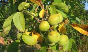 Через сколько лет плодоносит грецкий орех с момента посадки: когда начинает, сколько растёт, когда собирать урожай