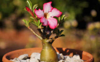Адениум – выращивание в домашних условиях, уход, обрезка на фото