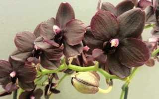 Орхидея Мультифлора: описание домашнего цветка, выращивание и уход в домашних условиях, фото, видео
