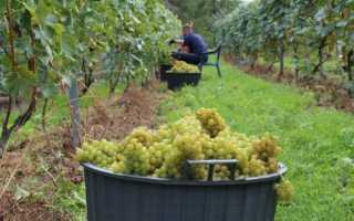 Виноград Солярис: характеристика и описание сорта, достоинства и недостатки, применение в виноделии, фото