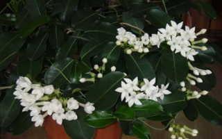 Почему желтеют листья у стефанотиса: в чём причина, что делать, особенности ухода