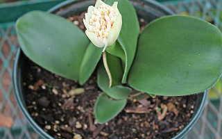 Гемантус: уход и разведение в домашних условиях, описание видов комнатного растения с фото