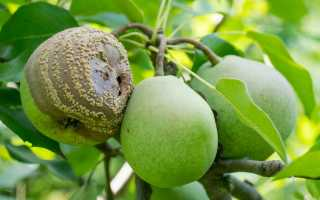 Почему гниют груши на дереве: что делать, главные причины и меры борьбы с болезнью и вредителями