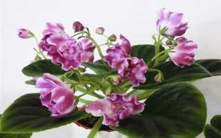 Фиалка Волшебный Тюльпан: описание и фото, особенности выращивания и ухода в домашних условиях