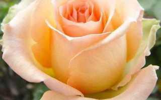 Роза чайно-гибридная Версилия: фото и описание, посадка и уход в открытом грунте