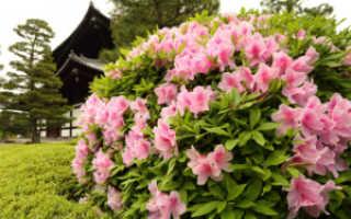 Фиалка Северный Рододендрон: описание и фото сорта, особенности ухода за цветком