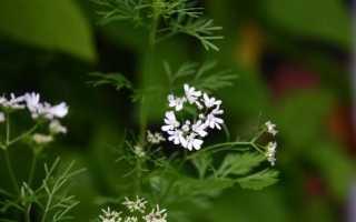 Кинза и кориандр – одно и то же растение, или нет? Чем отличается