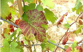 Красные листья у винограда: причины и что при этом делать, фото, видео