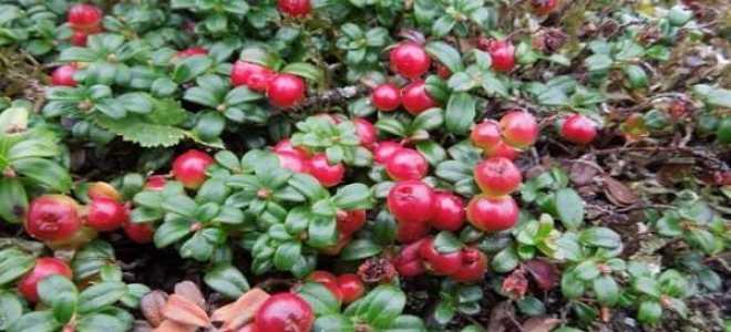 Брусника в саду: выращивание, уход и размножение, саженцы, чем подкормить, сколько лет живёт и плодоносит