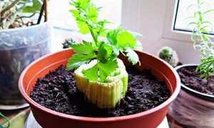 Сельдерей из семян: как сажать и вырастить в домашних условиях, особенности ухода