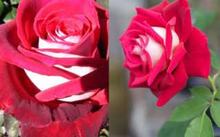 Роза чайно-гибридная Осирия: фото и описание, посадка и уход в открытом грунте