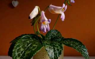Хирита: уход в домашних условиях, фото, сорта, размножение