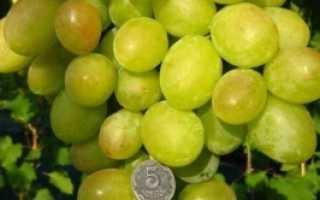 Виноград Синдикат: описание сорта, фото, особенности выращивания и уход