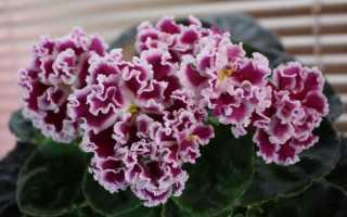 Фиалка Амадеус: фото и описание сорта, выращивание и уход в домашних условиях