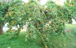 Посадка и уход за абрикосом в средней полосе: описание и характеристика культуры, сорта абрикосов