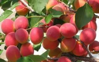 Абрикос Саратовский рубин: описание сорта, особенности посадки и ухода, сбор и хранение урожая, фото