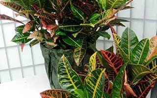 Кротон: размножение листом, черенками, семенами в домашних условиях, пересадка