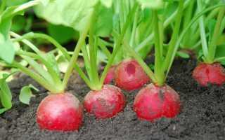 Посадка редиса в августе: выбор сорта, особенности выращивания и ухода за сортами