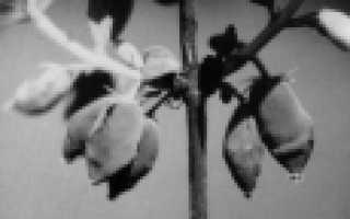 Сорт жимолости съедобной Тундра: описание с фото, преимущества и недостатки