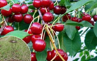 Посадка вишни весной: сроки, плюсы и минусы, подготовительные и посадочные работы, уход