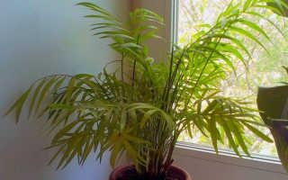 Хамедорея элеганс: уход в домашних условиях, пересадка, фото, польза и вред, цветение, приметы