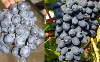 Виноград Аттика Кишмиш: описание сорта с фото, особенности ухода
