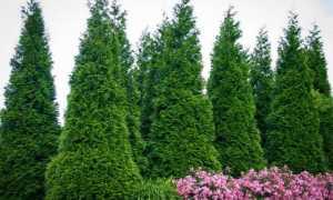 Когда сажать туи в Подмосковье: весной или осенью, как правильно посадить и ухаживать, как быстро дерево растёт