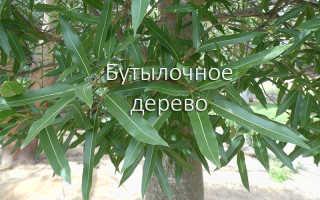 Комнатное растение брахихитон: фото и описание, выращивания и уход в домашних условиях