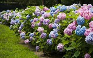 Живая изгородь из гортензии метельчатой: вдоль забора, ограждение из растения своими руками