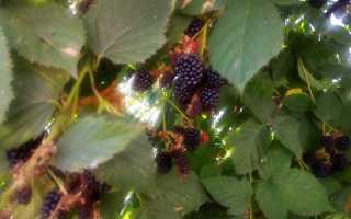 Выращивание ежевики как бизнес: рентабельность, урожайность ежевики с 1 га и одного куста