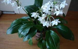 Почему не цветёт эухарис в домашних условиях: как заставить цвести растение, правильный уход