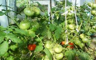 Почему опадают помидоры в теплице и что при этом делать
