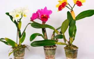 Каттлея – орхидея: уход за цветком в домашних условиях, фото
