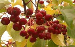 Яблоня ягодная: описание и характеристика вида, достоинства и недостатки, особенности посадки и ухода, фото