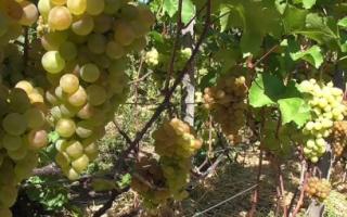 Виноград Платовский – описание сорта, фото, отзывы