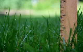 Райграс пастбищный для газона: фото и описание многолетней газонной травы, её высота, преимущества и недостатки, особенности выращивания