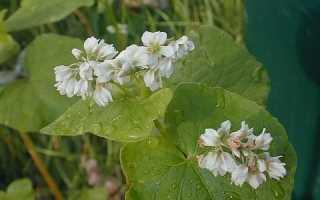 Гречиха как медонос: характеристика, при какой температуре выделяет нектар, сколько цветёт гречка для медосбора, сколько килограмм с