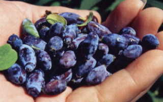 Как вырастить жимолость из семян в домашних условиях: технология, пошаговая инструкция