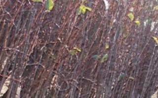 Уход за черешней: как правильно вырастить дерево, урожайность, фазы развития