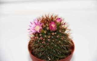 Маммиллярия кактус: уход в домашних условиях, виды с фото, полив, цветение, пересадка