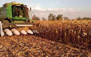 Кукуруза на зерно: технология выращивания, сроки сбора и хранения урожая, видео