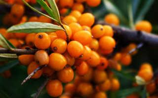 Имбирно-облепиховый чай: полезные и вредные свойства, противопоказания