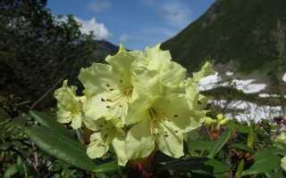 Рододендрон золотистый (кашкара, Rhododendron Aureum): выращивание, лечебные свойства и противопоказания, фото